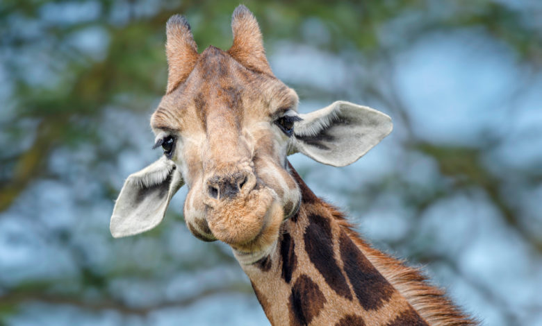 three giraffes electrocuted new fpeD1Inow-trending
