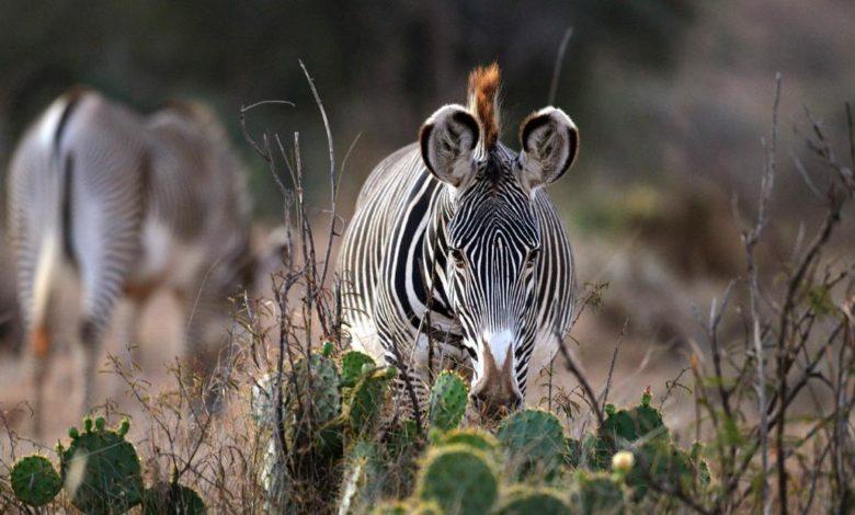 210317174918 02 kenya endangered grevys zebra super 169 ZHOwQlnow-trending