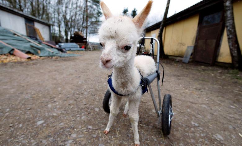 alpaca amputee 03 8y222Hnow-trending