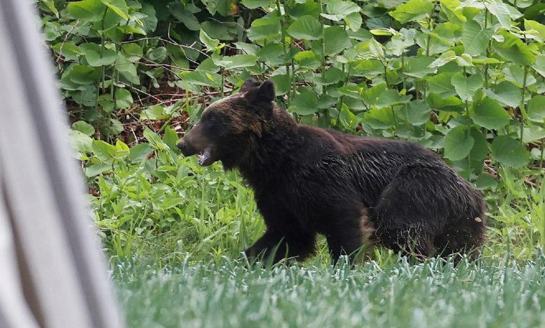 northern japan bear file CddOPPnow-trending