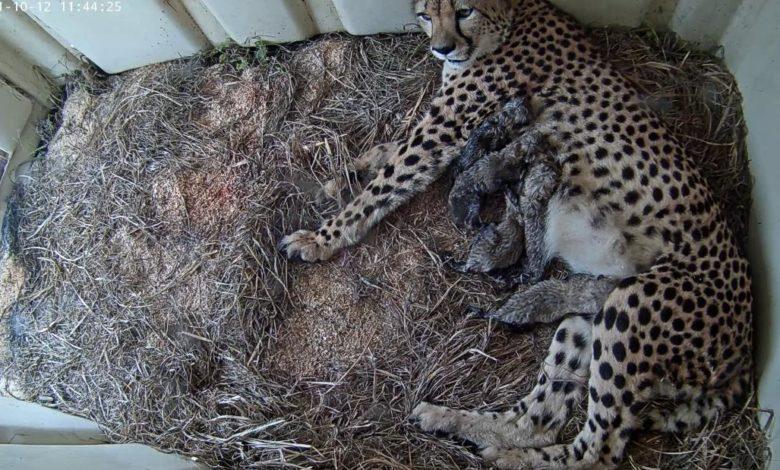 211013134407 smithsonian zoo cheetah cubs 101221 super 169 h0GxBanow-trending