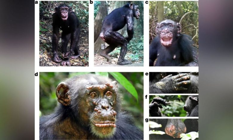 211014100202 wild chimpanzees leprosy scli intl scn super 169 Dy9andnow-trending